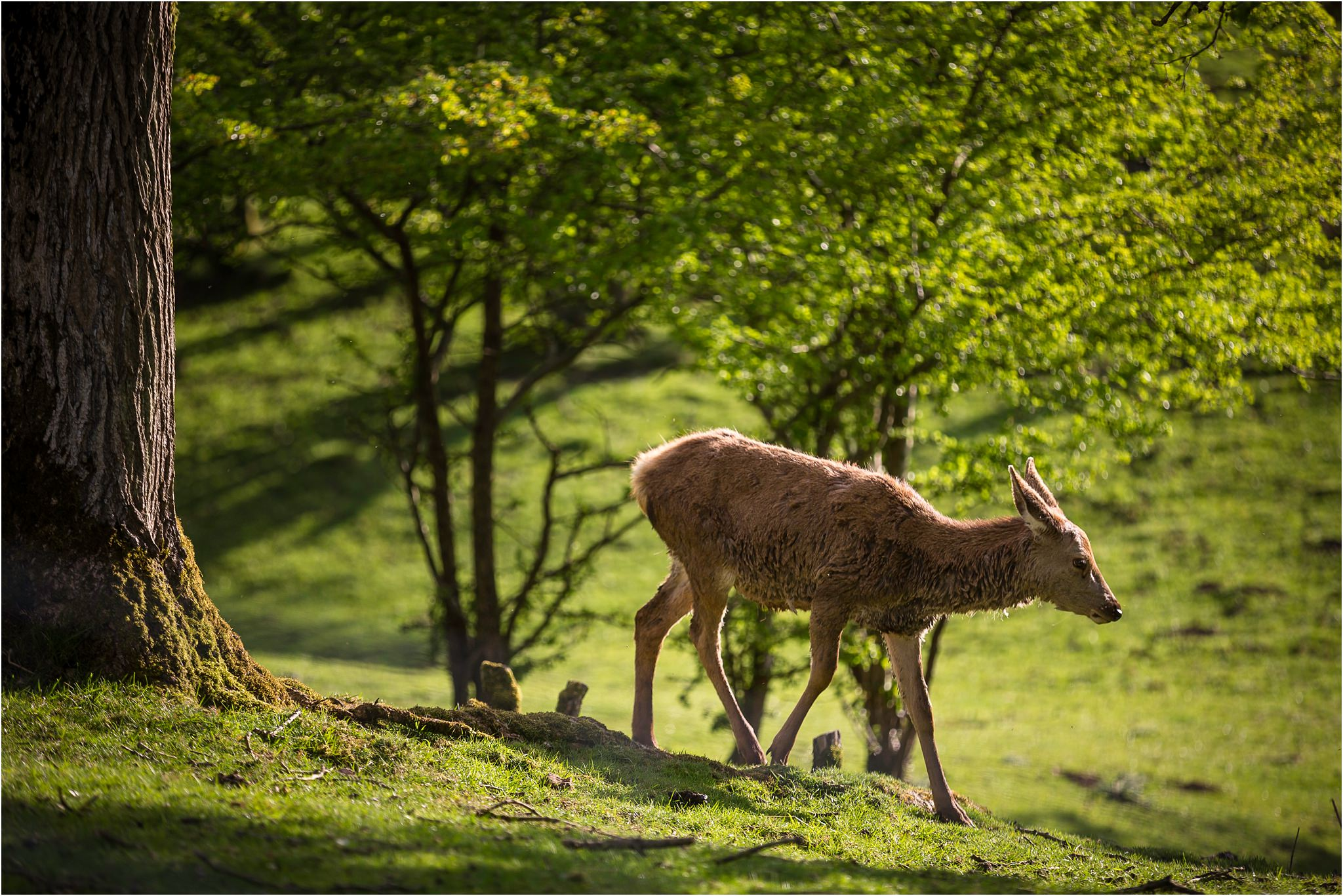 A photograph of a deer at Broadway Tower in Worcestershire.